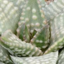 Хавортия Даигинга (Haworthia cv. 'Daiginga')