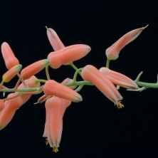 Цветы Алоэ