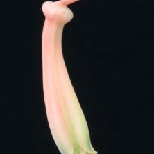 Цветок Алоэ