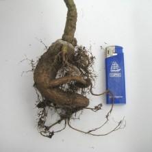 Куссония - африканский каудекс