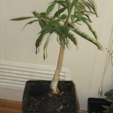 Баобаб (Adansonia rubrostipa)