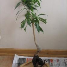 Баобаб - обрезаны лишние корни