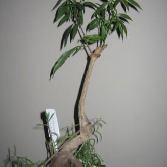 После обрезки корней и кроны, Баобаб посажен в плошку