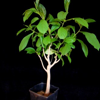 Африканский Баобаб - Adansonia digitata