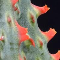 Aloe cv. Carmine
