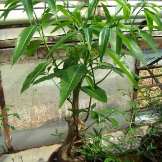 Adansonia za - разгонка в тренировочном контейнере