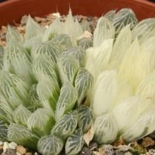 Haworthia cooperi variegata