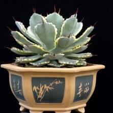 Агава растение (Agave Kichiokan)