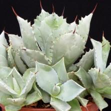 Агава потаторум (Agave potatorum)