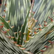Алоэ сомалийское (Aloe somaliensis)