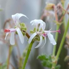 Цветы Пеларгонии альтернанс