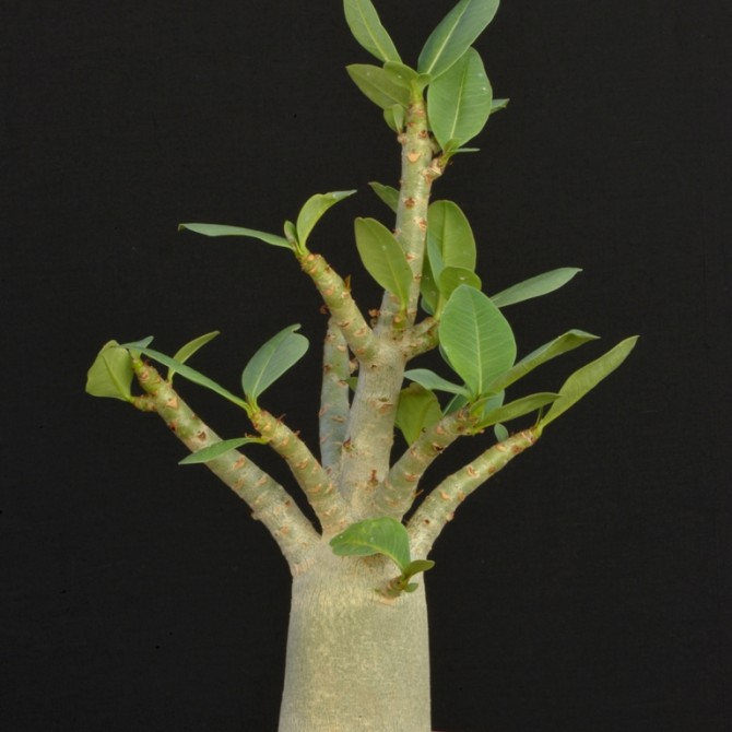 Adenium socotranum Daimond Crown