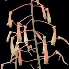 Aloe sladeniana цветы