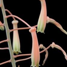 Aloe sladeniana цветет