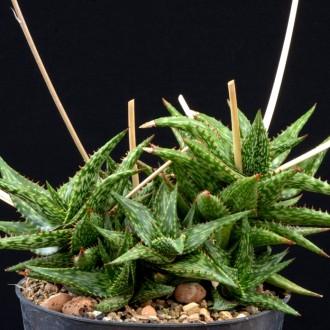 Алоэ юкунда (Aloe jucunda)