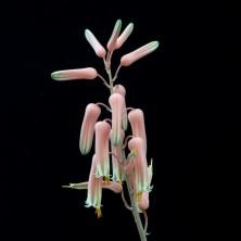 Алоэ юкунда (Aloe jucunda) соцветие