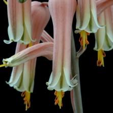 Цветы Алоэ юкунда