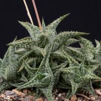 Алоэ Дескуана (Aloe descoingsii)