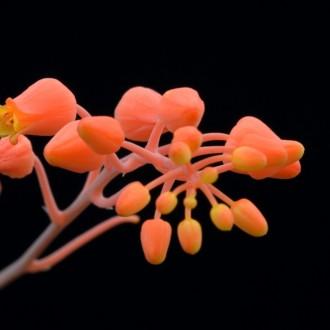 Алоэ Дескуана цветы