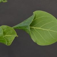 Фикус кришны (Ficus krishnae)