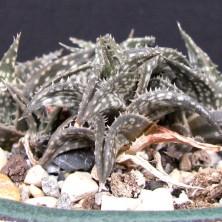 Aloe descoingsii с мелким крапом