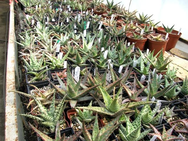 Aloe cultivars (Культивары Алоэ)