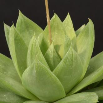 Хавортия цимбиформис (Haworthia cymbiformis)