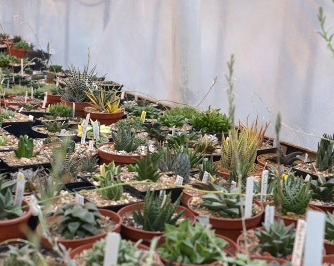 Коллекция листовых суккулентов из рода Хавортия (Haworthia)