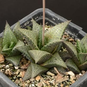 Хавортия шахматная (Haworthia tesselata)
