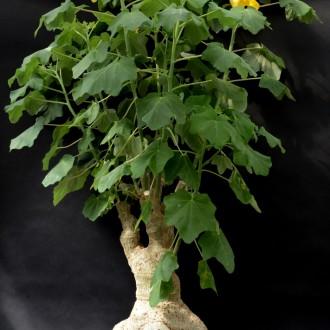 Ункарина пельтата (Uncarina peltata) кадка 100 см