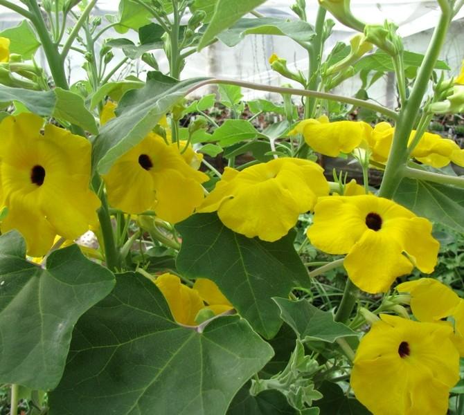 Ункарина пельтата (Uncarina peltata) цветение