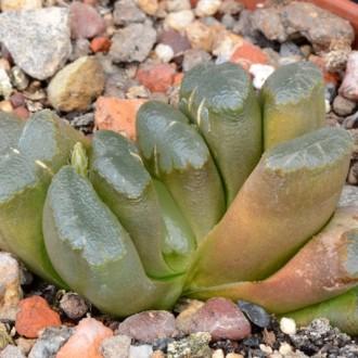 Культивары Хавортии трункаты (Haworthia truncata)
