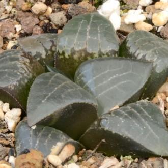 Культивары Хавортий (Haworthia comptoniana)