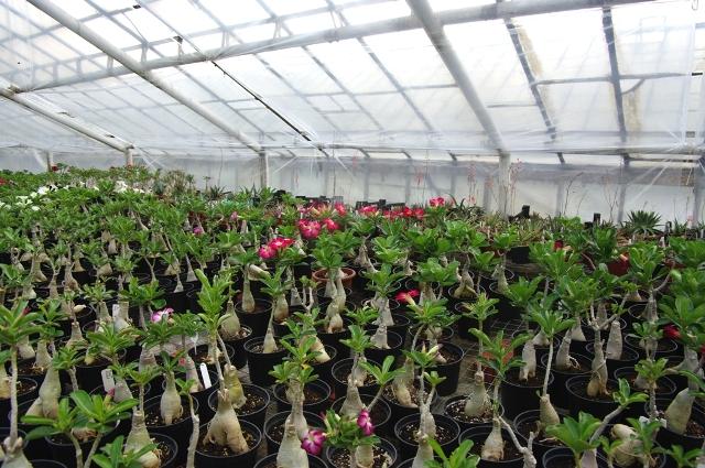 Пересадка Адениума весной - залог цветения летом