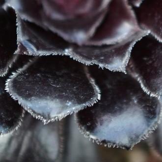 Черные листья Эониума