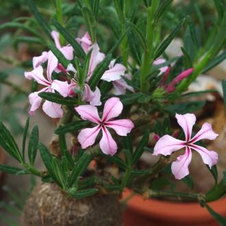 Цветы многих суккулентов очень красивы