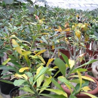 Зимовка Адениумов начинается с опадения листьев