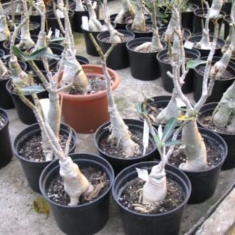 Адениумы зимуют в прохладе без листьев