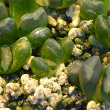 Вариегатная Хавортия маугани (Haworthia maughanii variegata)