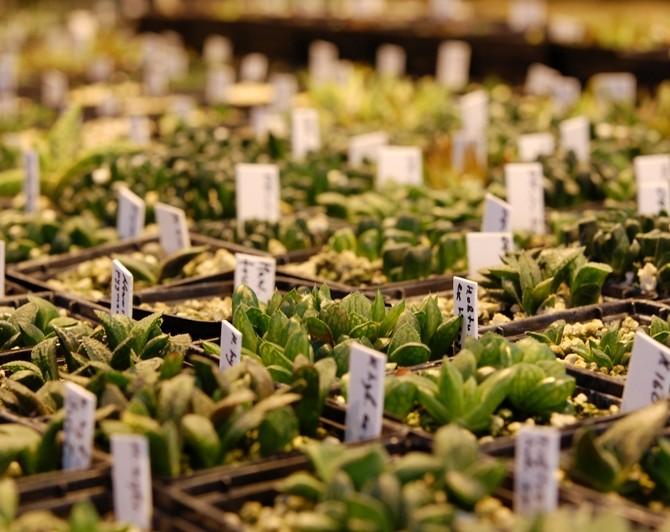 Сеянцы Хавортий (Haworthia seedlings)