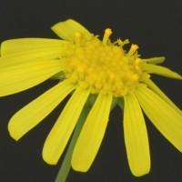 Цветение Отонны (Othonna clavifolia)