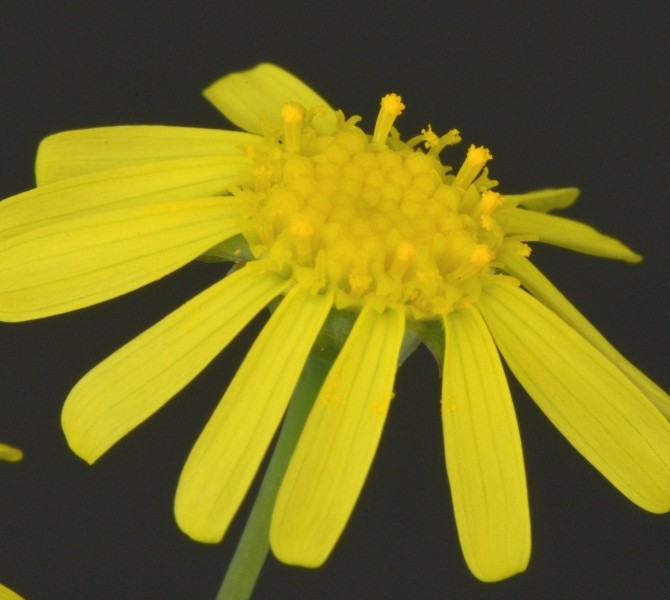 Цветок Отонны