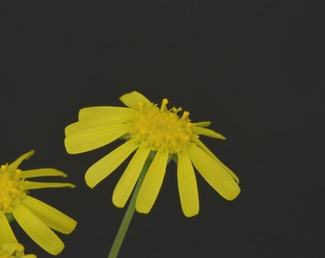 Цветы Отонны