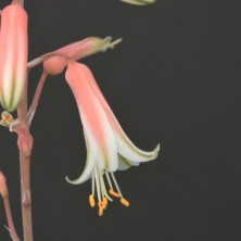 Гибрид Алоэ белоцветкового и рауха