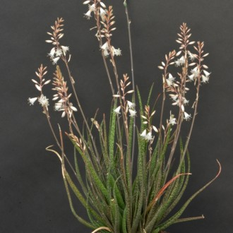 Алоэ белоцветковое (Aloe albiflora)