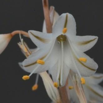 Aloe albiflora