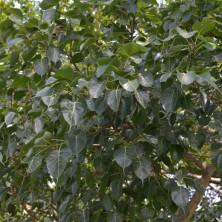 Фикус священный (Ficus religiosa)