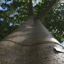Лесной гигант