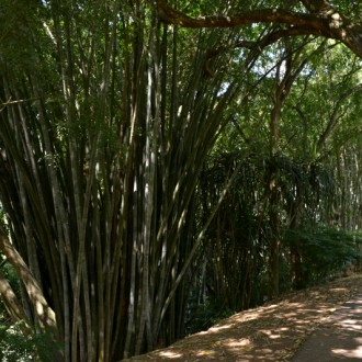 Гигантский Бамбук