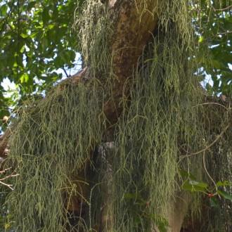 Лесной кактус - Рипсалис (Rhipsalis)